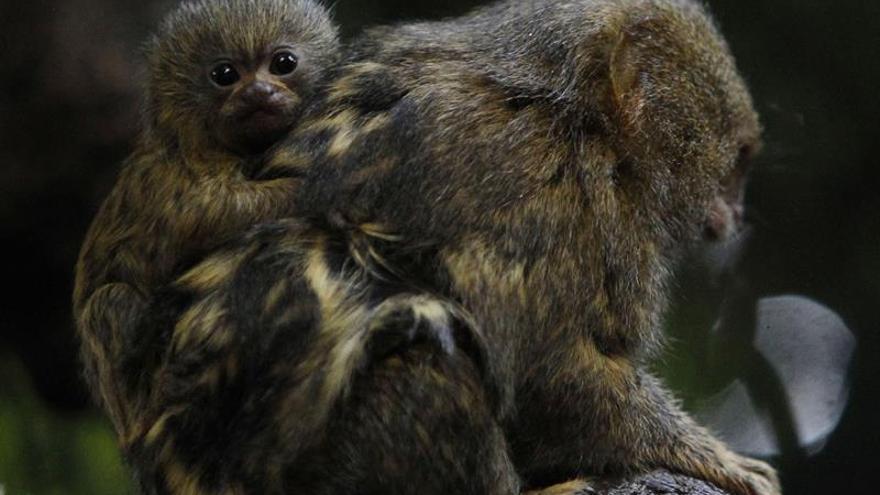 Nacen en un zoológico colombiano gemelos de mono tití panameño
