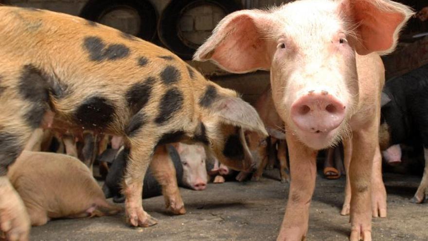 Corea del Sur detecta el primer caso de fiebre porcina africana