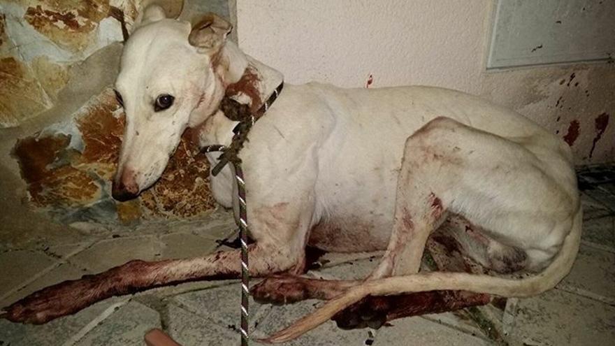 Perro abanadonado y maltratado, recogido por el Refugio San Jorge.
