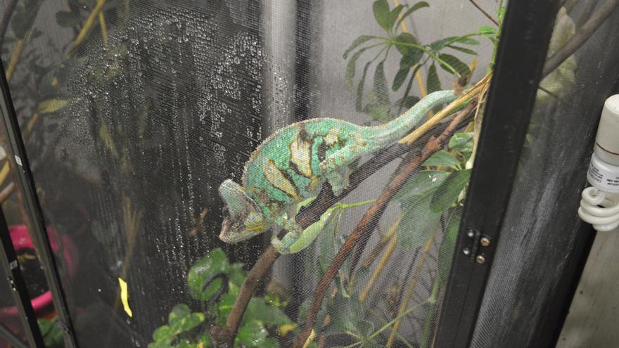 Uno de los dos camaleones que se encuentran en el Campus de Medicina de la UC | RUBÉN ALONSO