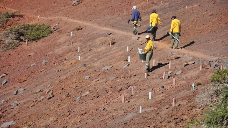 Operarios  del Parque Nacional, en la zona de Los Andenes, entre plantas repobladas y protegidas con protectores individuales. Foto: ÁNGEL PALOMARES.