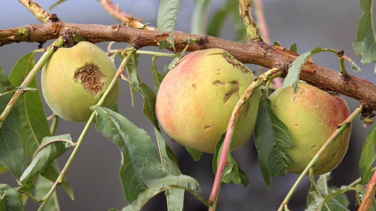 Efectos de pedrisco en frutales
