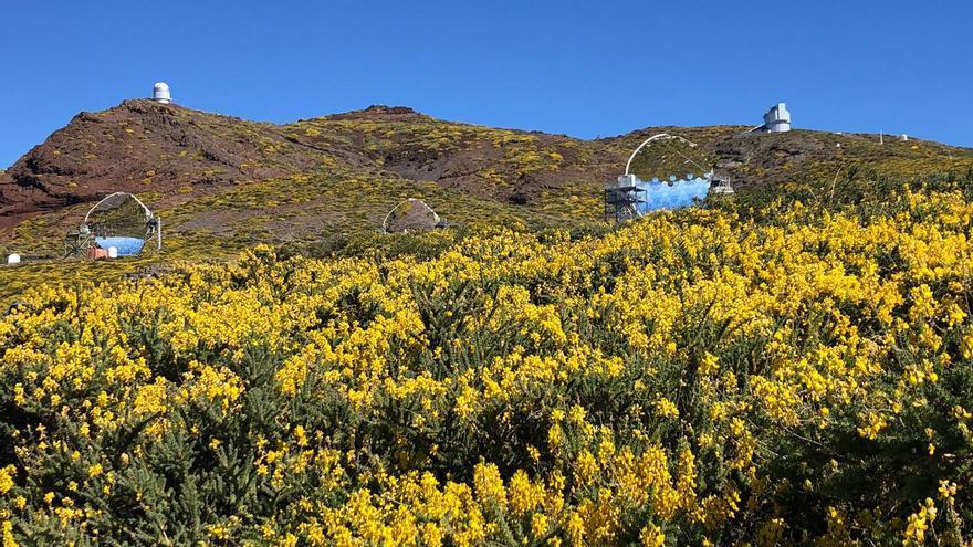 Las cumbres del entorno del entorno del Roque de Los Muchachos ofrecen estos días un deslumbrante paisaje amarillo con los codesos y ratamones en flor.