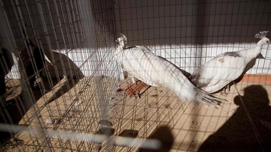 "Córdoba, criadero de gallinas con ""pedigree"""