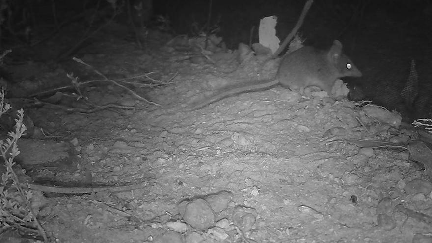 Ratón marsupial de la isla Kangaroo capturado por las cámaras de la ONG KI Land for Wildlife