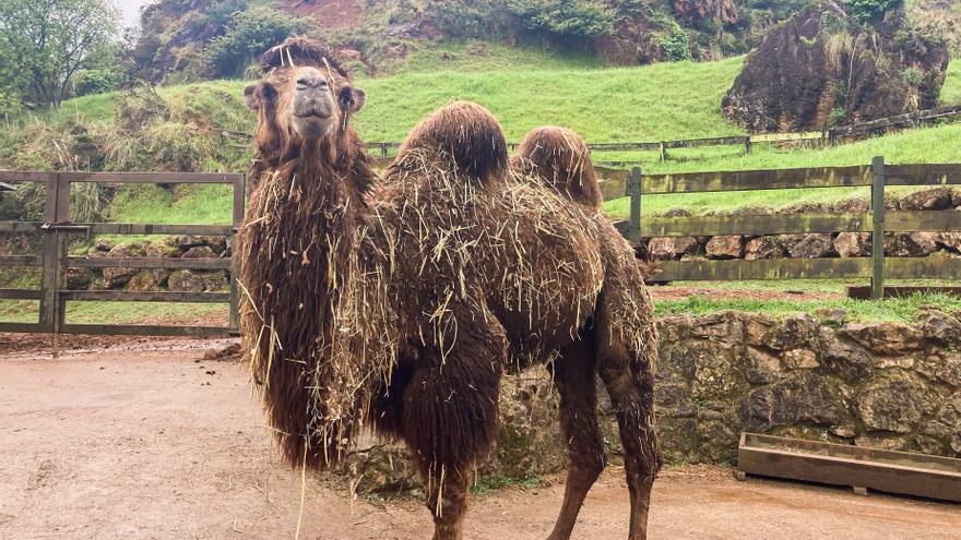 Un camello bactriano llega al Parque de Cabárceno