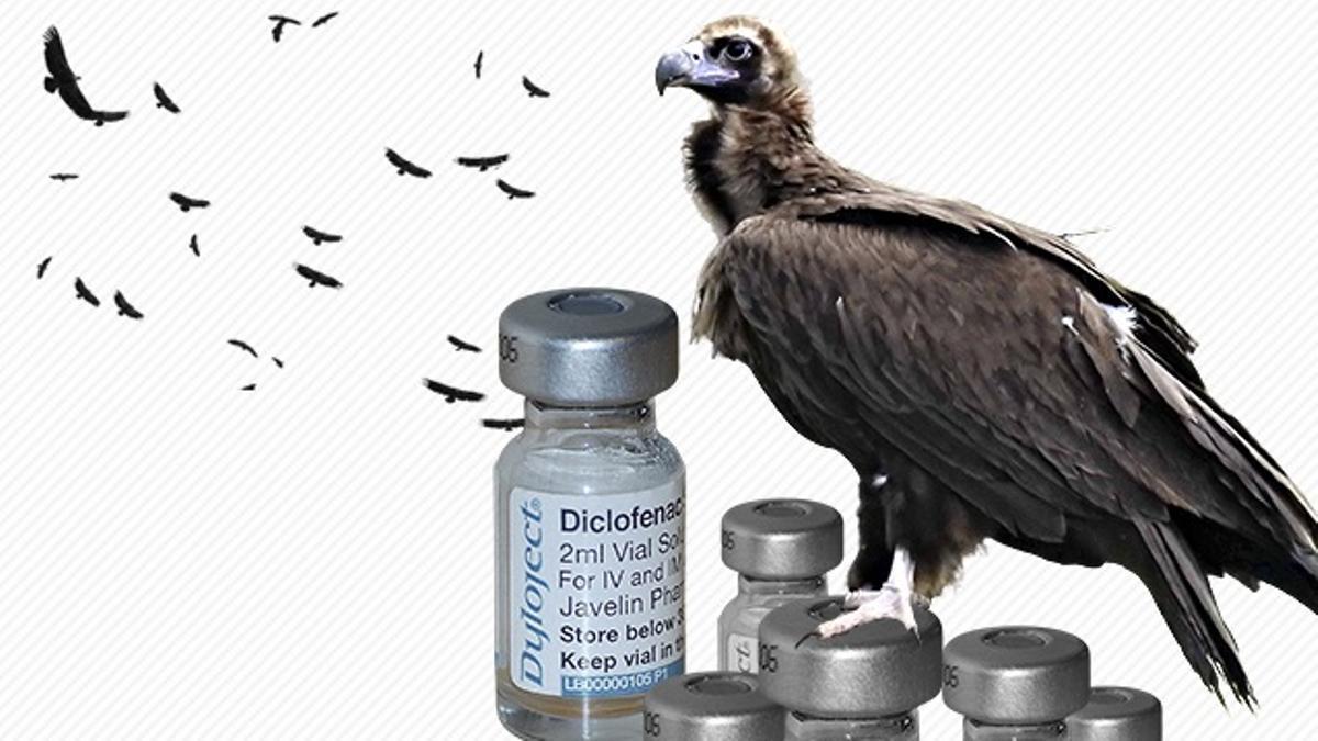 Se ha confirmado el primer caso de envenenamiento de buitres por diclofenaco en España.