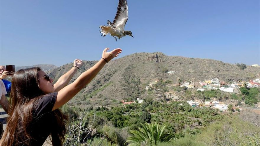 Una de las trabajadoras del Centro de Recuperación de Fauna Silvestre del Cabildo suelta un alcaraván que, junto a dos águilas ratoneras, fueron devueltas a su hábitat