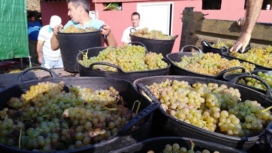 Narvay Quintero, en la vendimia de uva para la bodega piñera Elysar
