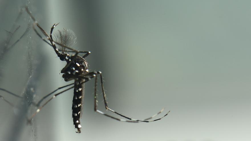 Ejemplar de mosquito tigre