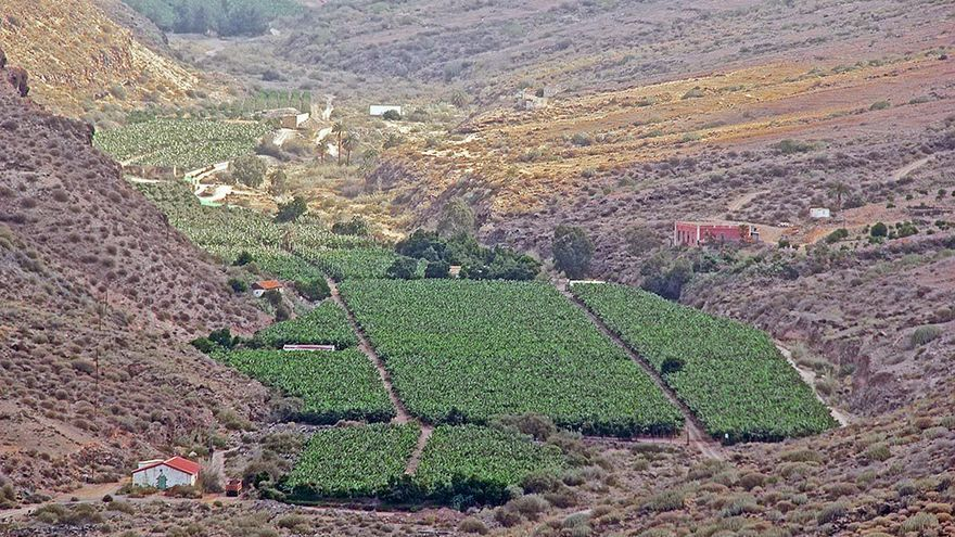 Plantación de plataneras en Veneguera.