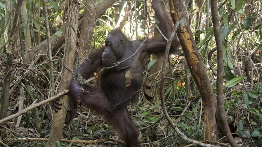 Un español filma la historia de superación de un orangután manco en Indonesia
