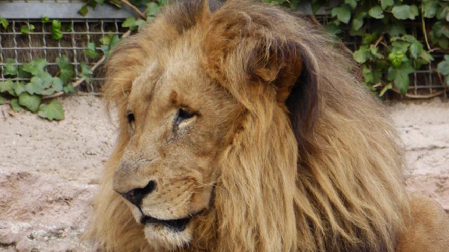 León en el zoo de Barcelona. Foto: Libera!