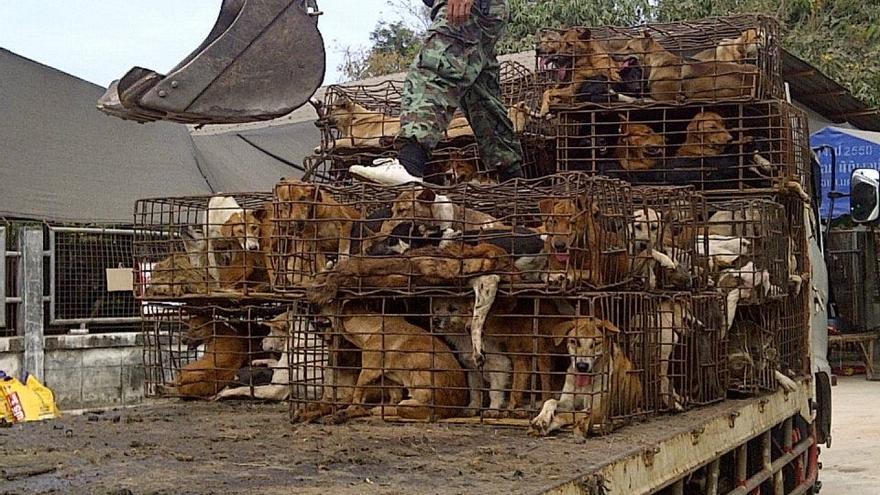 Perros hacinados en jaulas en su transporte al matadero. © John Dalley. Soi Dog Foundation