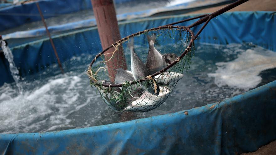 Gaza combate con peces las pol ticas de israel for Como hacer una granja de peces