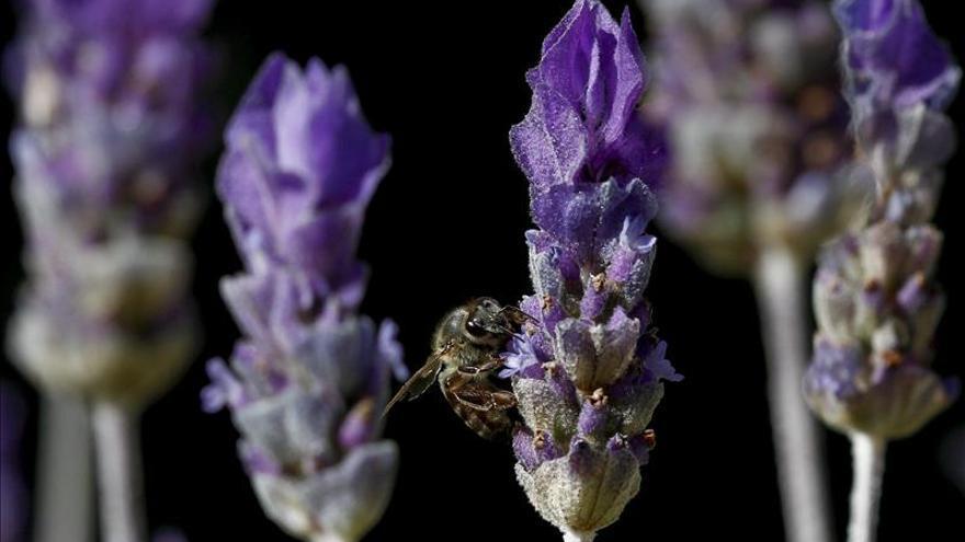 Inventan un modo sencillo de combatir el ácaro Varroa que acaba con las abejas