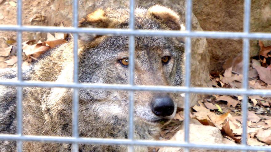 Loba ibérica en el zoo de Barcelona. Foto: ZooXXI