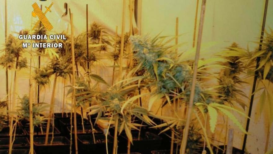 La Guardia Civil interviene medio millar de plantas de marihuana en una plantación 'indoor' en Gama