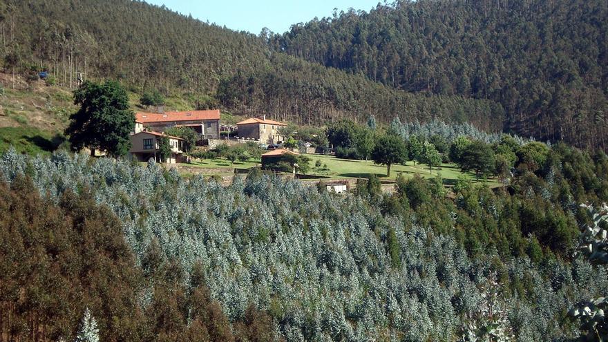 Plantaciones de eucaliptos en un monte gallego