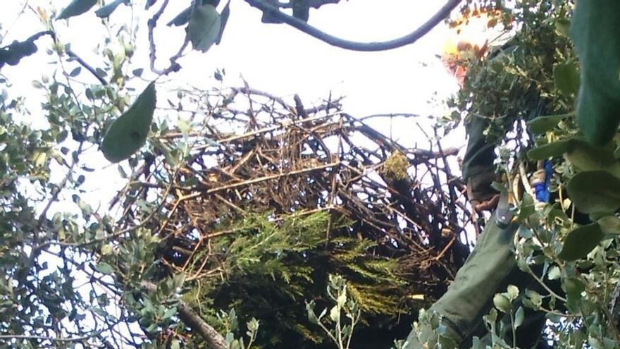 Junta reconstruye tres nidos de buitre negro en la Sierra Norte para evitar su caída