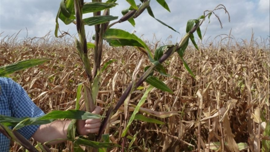 El teosinte, una mala hierba de origen mexicano, sigue infestando cientos de hectáreas de maizales en Aragón.
