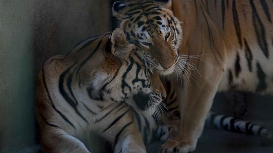 El último bastión costero del tigre de bengala amenazado por cambio climático