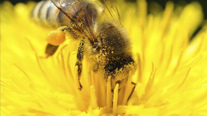 Colocarán sensores en abejas para estudiar su declive en Australia