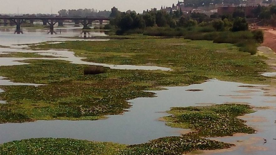 El camalote, en el tramo urbano de Badajoz / Foto: Rafael Sánchez Trejo