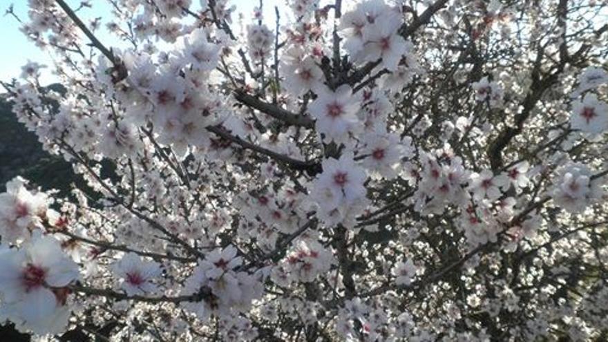Imagen de almendros en flor. (EUROPA PRESS).