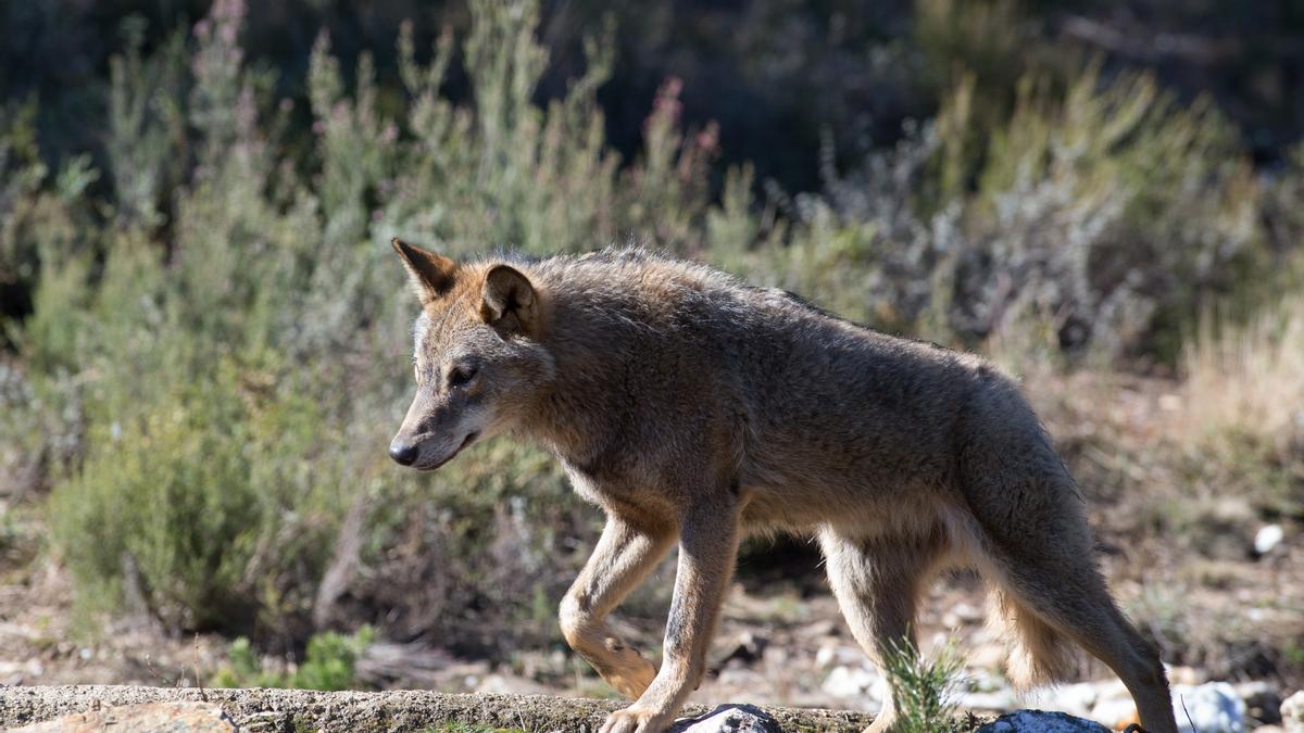 Un lobo ibérico del Centro del Lobo Ibérico en localidad de Robledo de Sanabria, en Zamora.