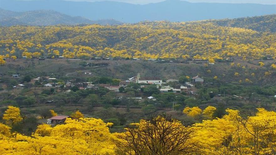 """Un bosque se viste """"de oro"""" con las primeras lluvias de invierno en Ecuador"""
