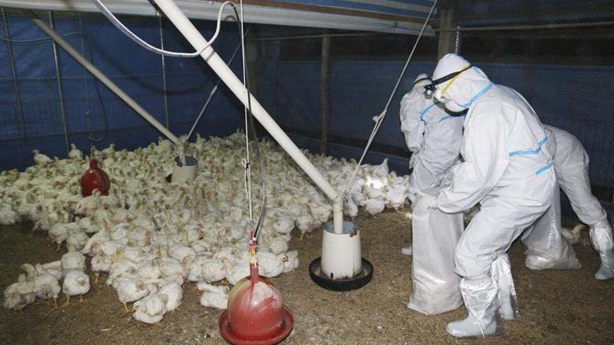 Sacrifican 40.000 pollos en Taiwán por un nuevo brote de gripe aviar