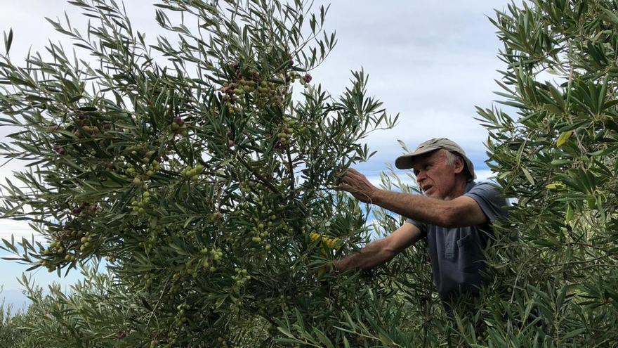 Juan José Santos, recolectando aceitunas en su olivar, en Fuencaliente.