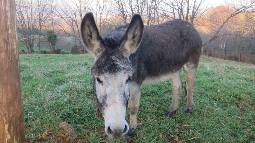 Galdakao (Bizkaia) elimina la carrera de burros de las fiestas del pueblo