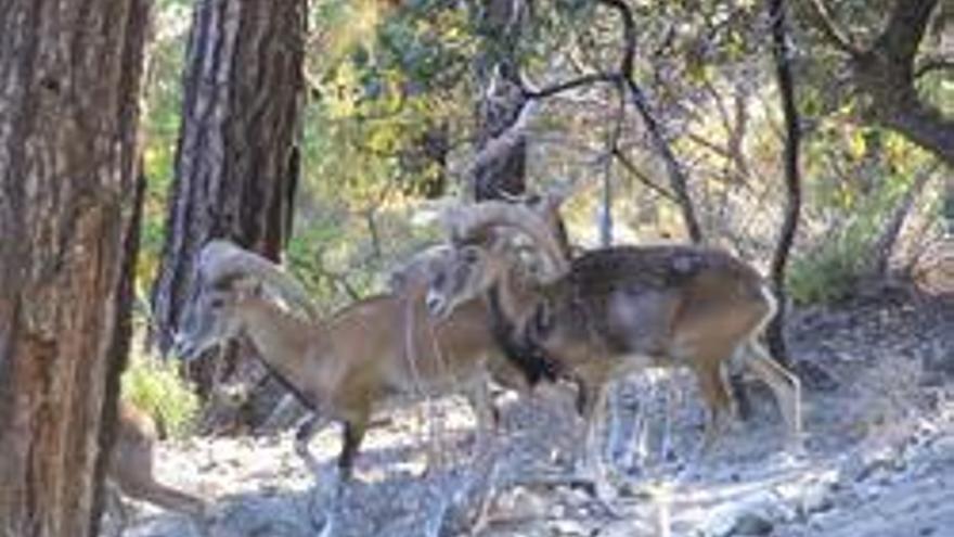 En la imagen, un grupo de muflones.