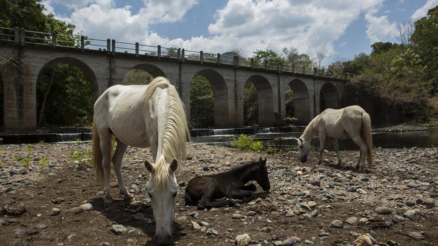 Los caballos, al igual que muchos otros animales, se acercan al río a refrescarse ante las calurosas temperaturas