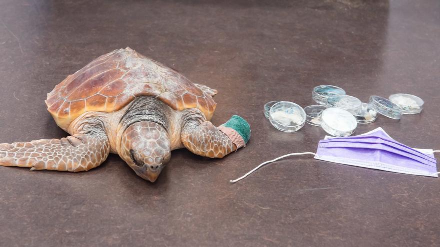 La última tortuga tratada en el Centro de Recuperación de Fauna Silvestre del Cabildo de Gran Canaria.