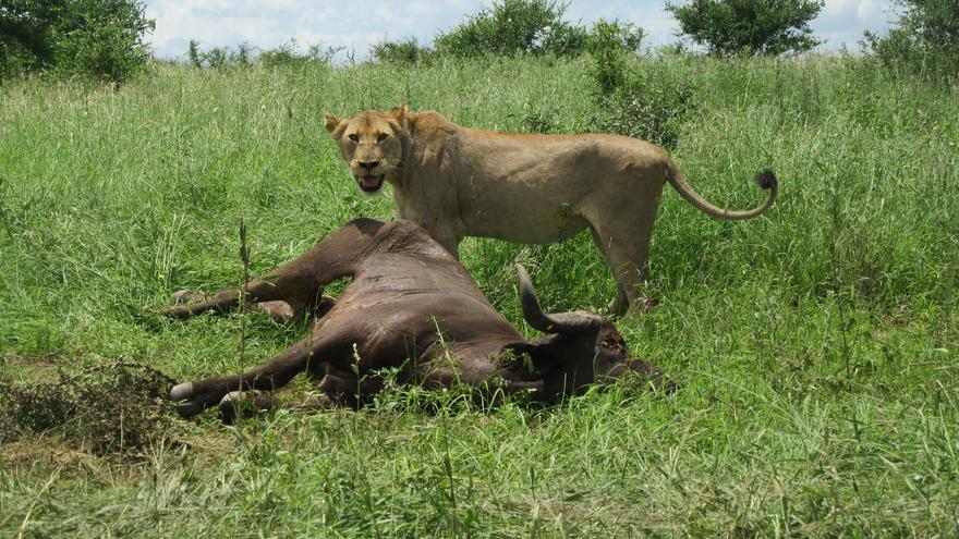 Un león da buena cuenta de un búfalo abatido. Amanda