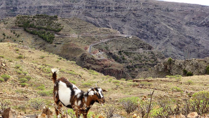 Una cabra pasta cerca de La Mérica, en Valle Gran Rey / Foto: Örjan Mattsson