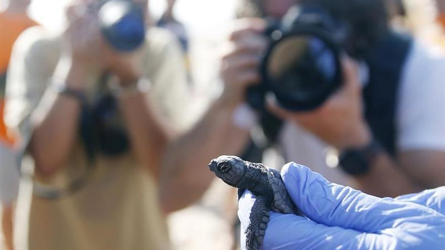 Nacen las primeras veintiuna tortugas boba del nido custodiado en Valencia
