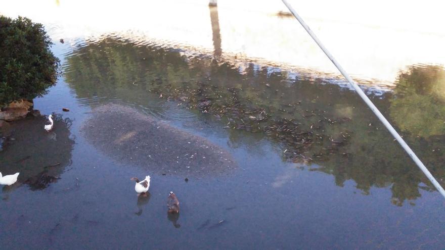 Peces muertos en el río Segura