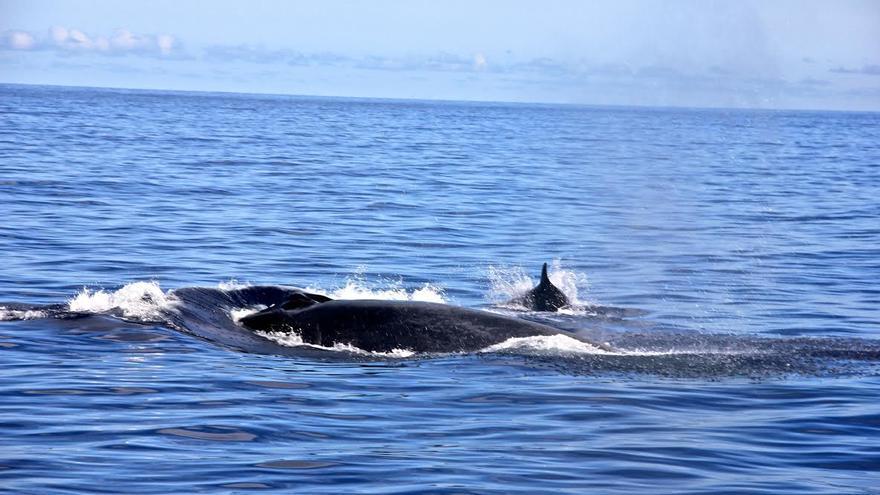La ballena azul avistada por los biólogos de La Laguna. (Alessandra Grusovin)