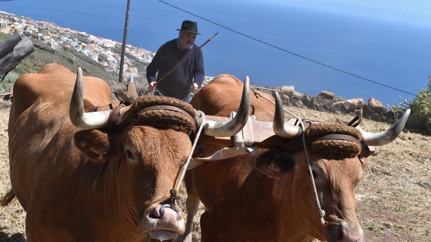 Exhibición con una yunta de vacas bastas