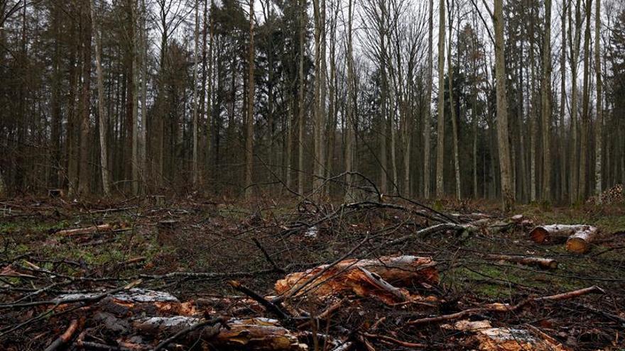 TJUE: Polonia incumple las directivas de la UE en la tala del bosque de Bialowieza