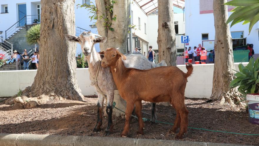 Las dos cabras del vecino de Tejeda Jesús Muñoz, junto al refugio habilitado en San Mateo para las personas afectadas por el incendio en la cumbre.