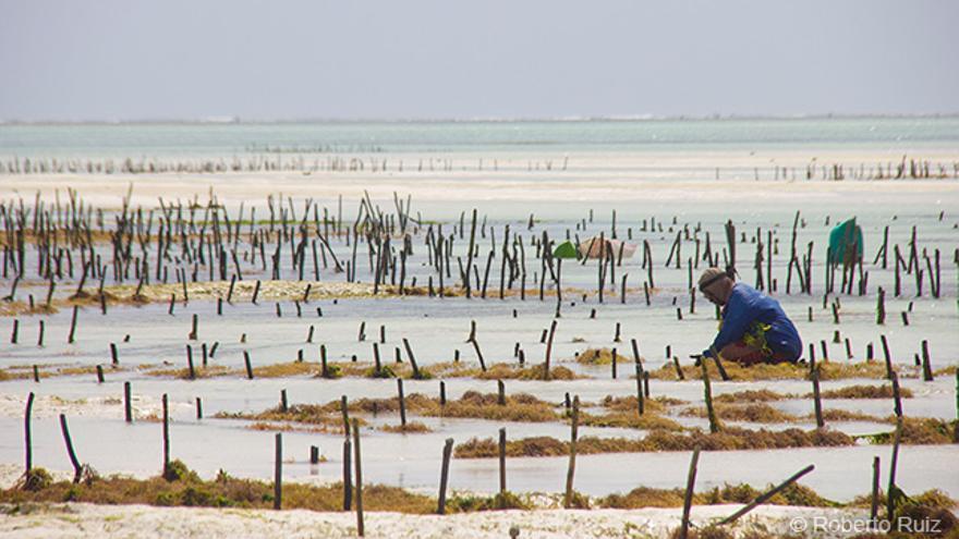 Tras el turismo, el cultivo de algas es la economía más importante de Zanzíbar