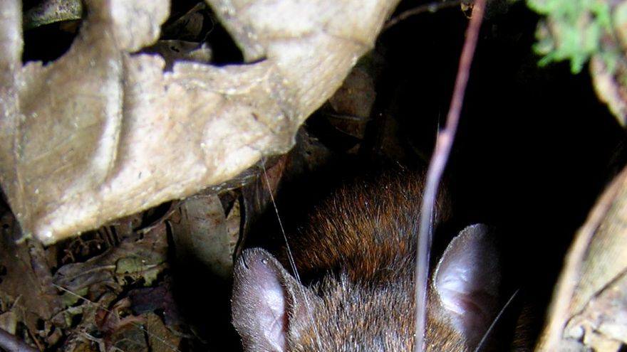 Especie de roedor Euryoryzomys russatus