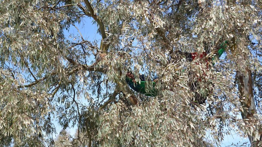 Un activista subido a un árbol en Arraijanal | N.C.
