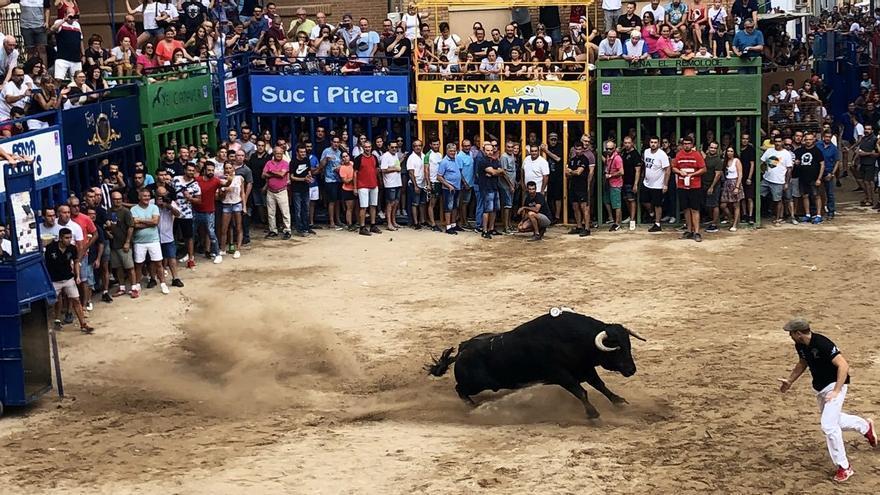 Un toro en los 'bous al carrer' de l'Alcora, este sábado.