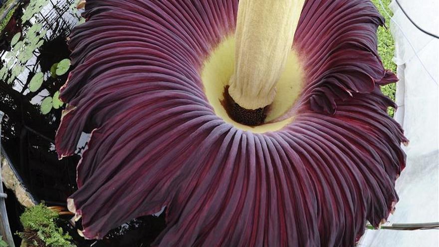 Florece en Australia una extraña flor de casi dos metros y olor a cadáver